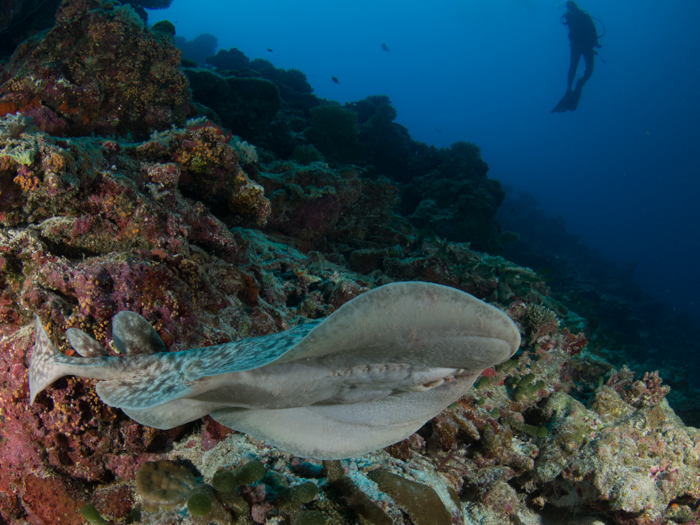 diving-maldives-addu-atoll-electric-ray