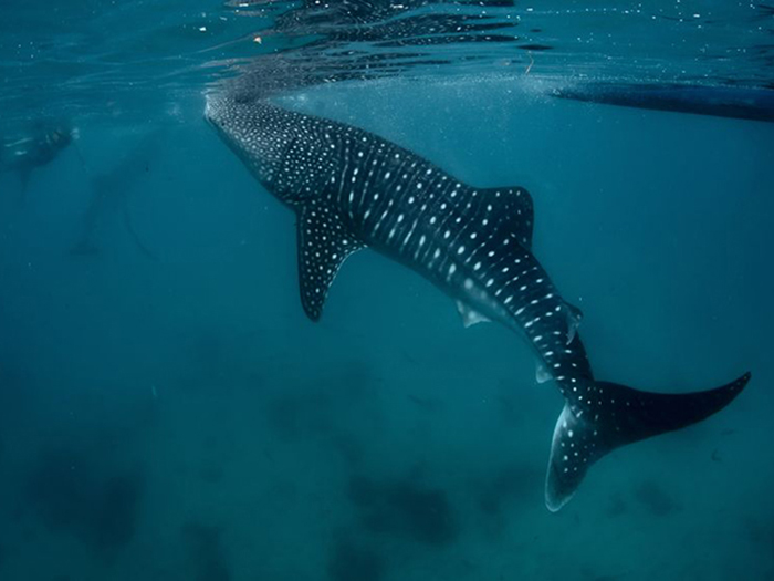 whale-shark-facts-where-to-swim-with-whale-sharks-in-asia-pacific-3