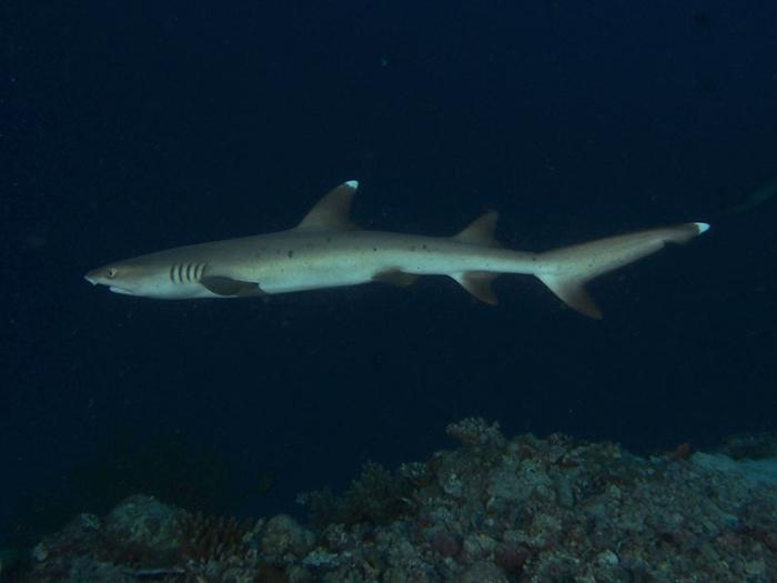 whitetip-reef-shark-maldives-diving-guide