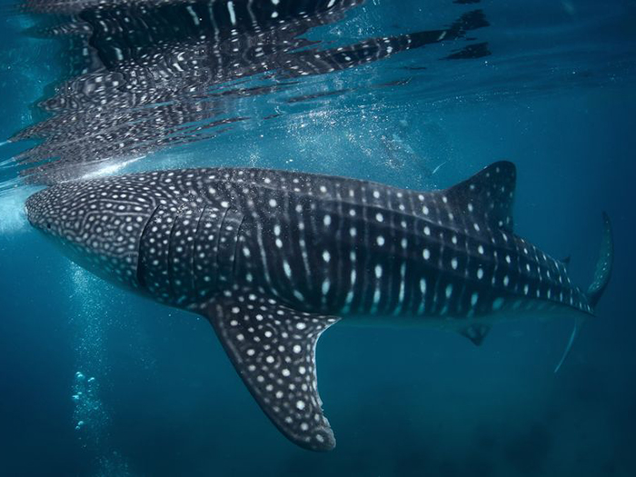 heres-where-you-can-go-to-see-your-favourite-sharks-whale-shark