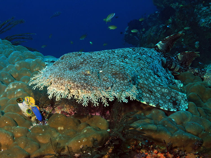 heres-where-you-can-go-to-see-your-favourite-sharks-wobbegong