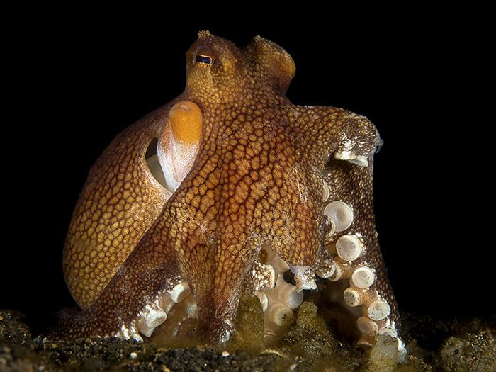 short-dive-trips-to-take-from-singapore-lembeh-octopus-sam-david