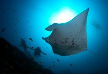 diving-maldives-addu-atoll-manta-point-1