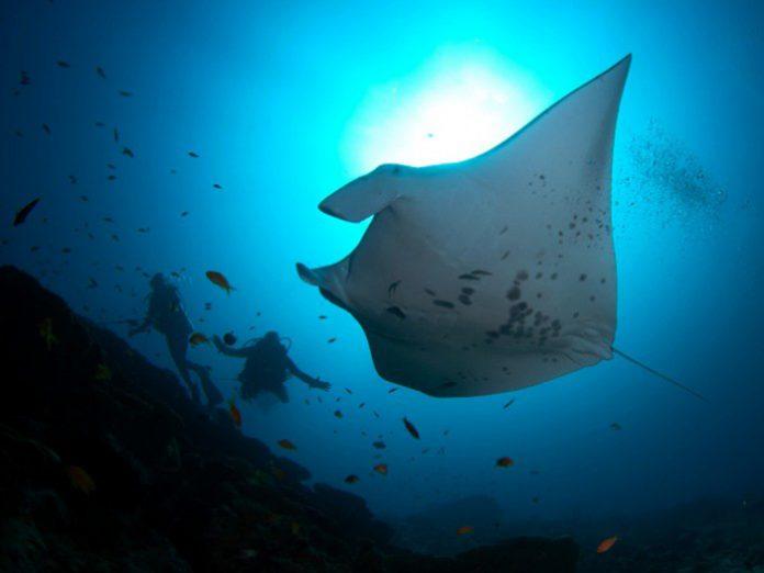 diving-maldives-addu-atoll-manta-point-1