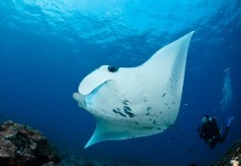 diving-maldives-manta-ray