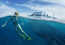 whale-shark-facts-where-to-swim-with-whale-sharks-in-asia-pacific-1