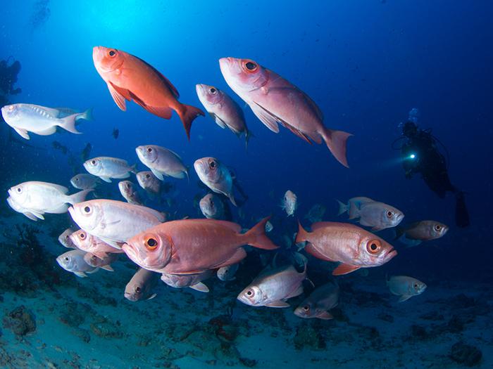 fish-maldives-diving-guide
