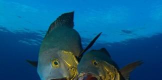 midnight-snapper-maldives-diving-guide