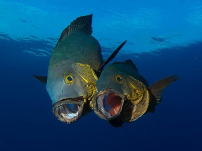 midnight-snapper-maldives-diving-guide