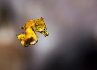 pontohs-pygmy-seahorse-underwater-macro-photography-tips