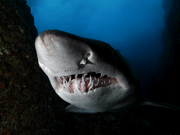 heres-where-you-can-go-to-see-your-favourite-sharks-sand-tiger-shark-william-tan