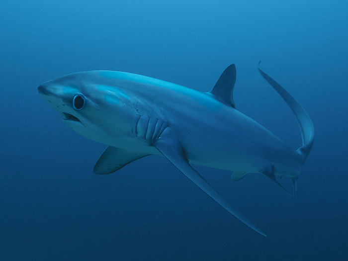 heres-where-you-can-go-to-see-your-favourite-sharks-thresher-shark-william-tan