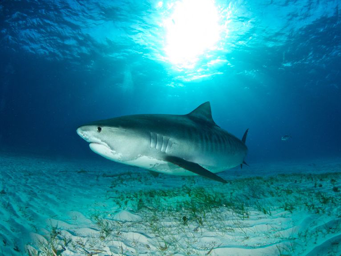 heres-where-you-can-go-to-see-your-favourite-sharks-tiger-shark