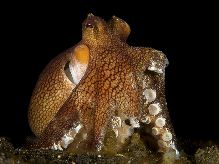 short-dive-trips-to-take-from-singapore-lembeh-octopus-sam-david