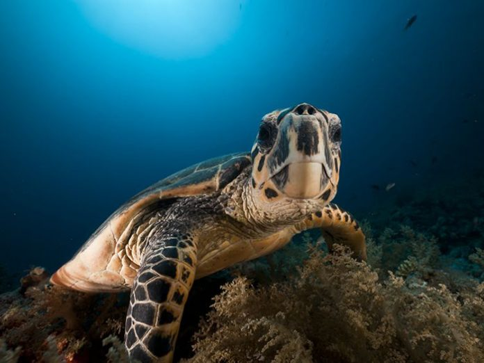 places-to-dive-with-turtles-in-asia-pacific-1