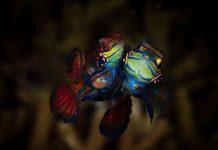mandarinfish-dive-budin-aris