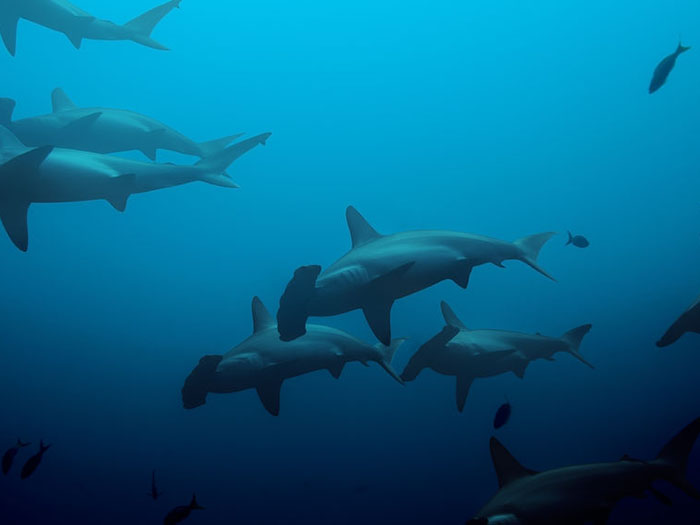 liveaboard-diving-destinations-ring-of-fire-hammerheads